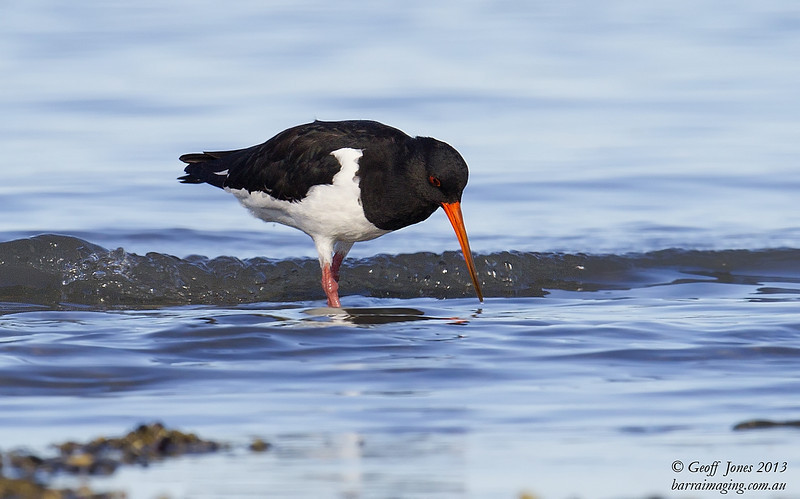 South Island Oystercatcher