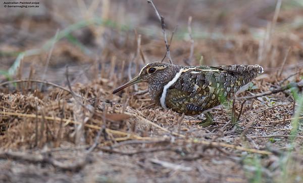 Australian Painted-snipe male