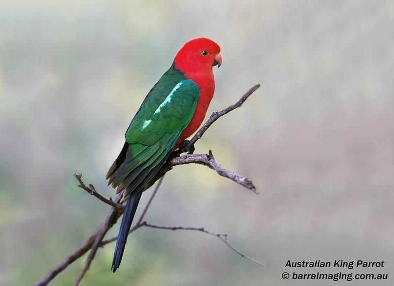 Australian King Parrot male