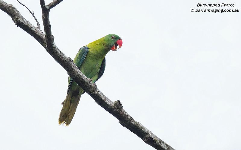 Blue-naped Parrot female