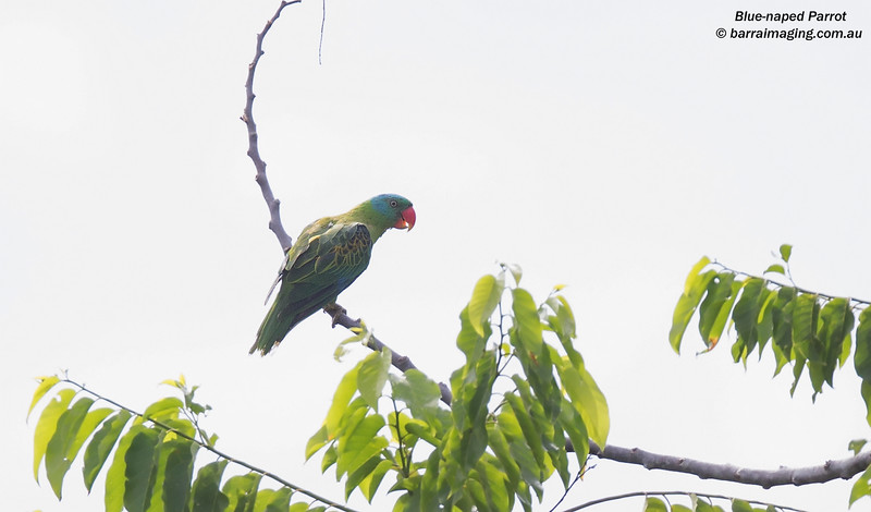 Blue-naped Parrot male
