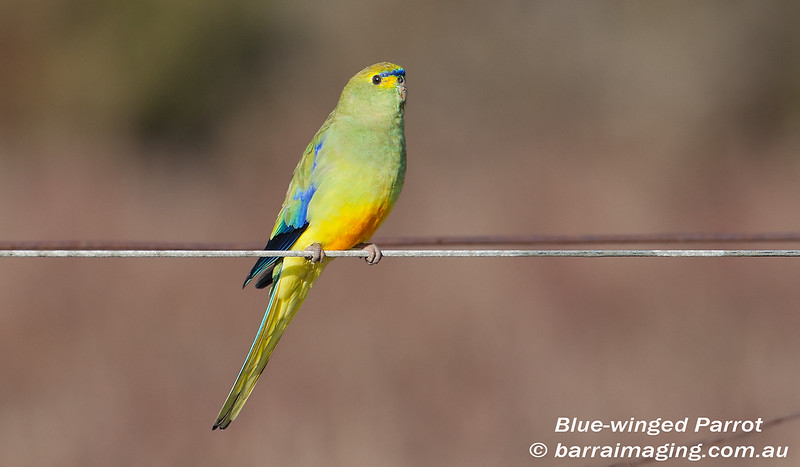 Blue-winged Parrot male