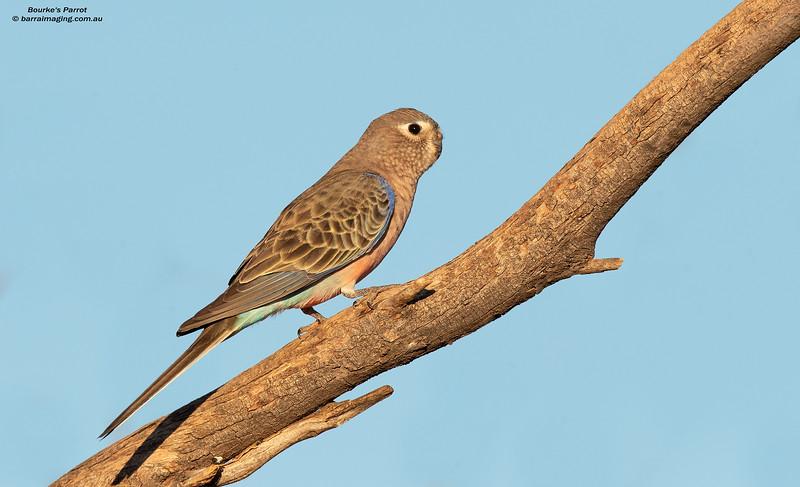 Bourke's Parrot