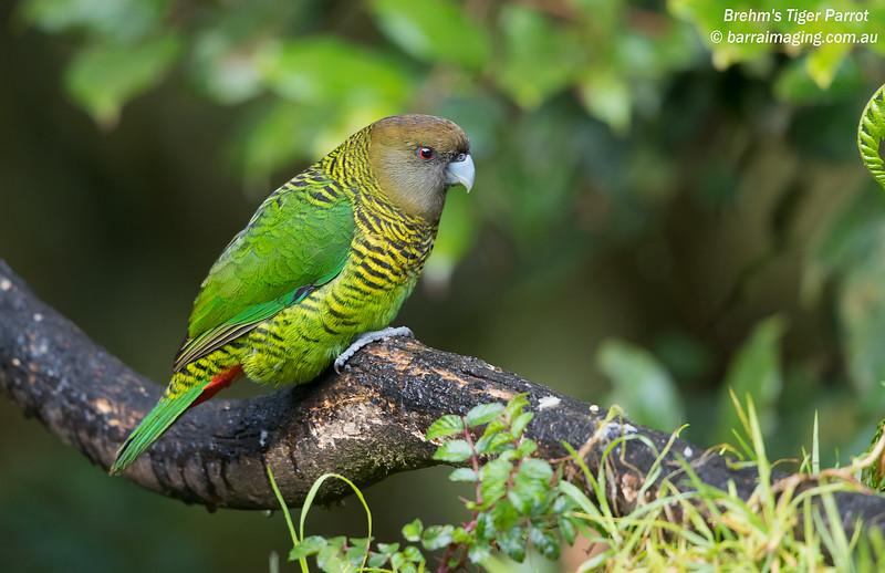 Brehm's Tiger Parrot female