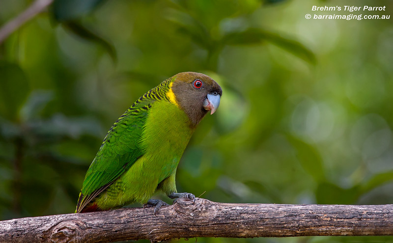 Brehm's Tiger Parrot male