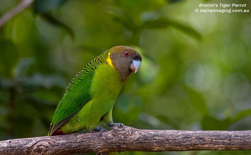 Brehm's Tiger Parrot male
