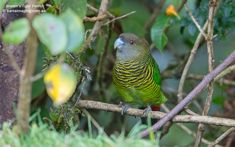 Brehm's Tiger Parrot female