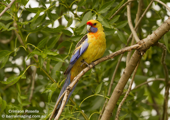 Crimson Rosella ( Yellow )