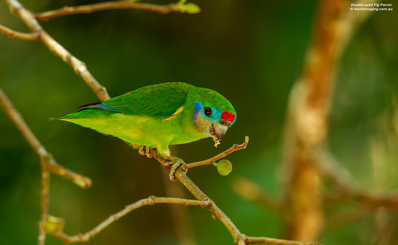 Double-eyed Fig-Parrot female