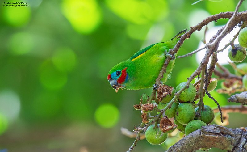 Double-eyed Fig-Parrot male
