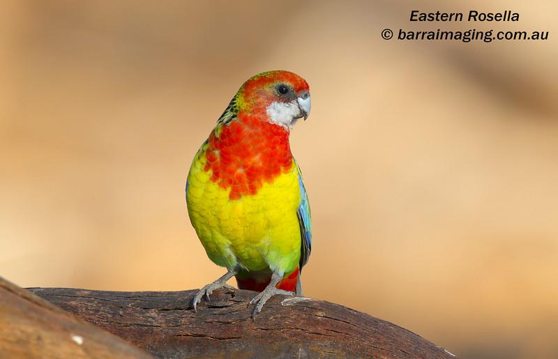 Eastern Rosella female