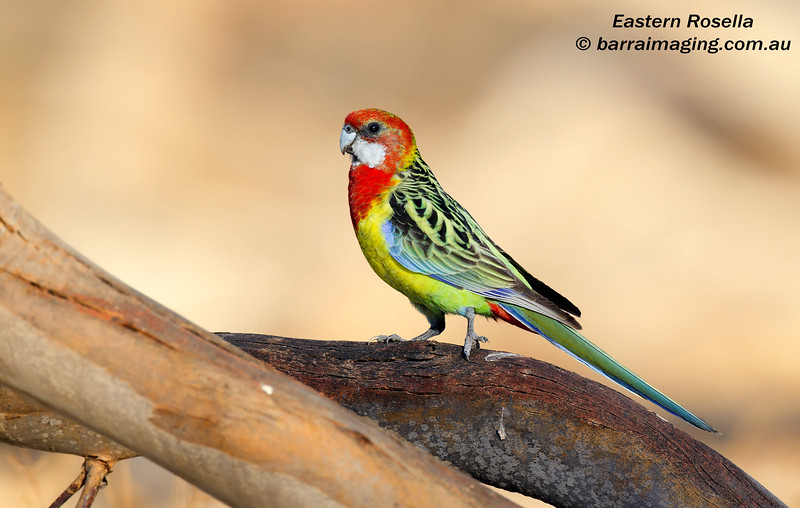 Eastern Rosella female