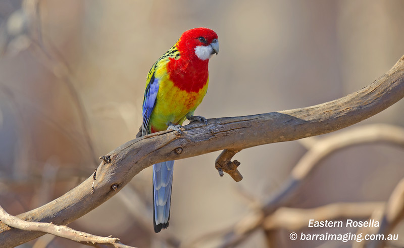 Eastern Rosella male