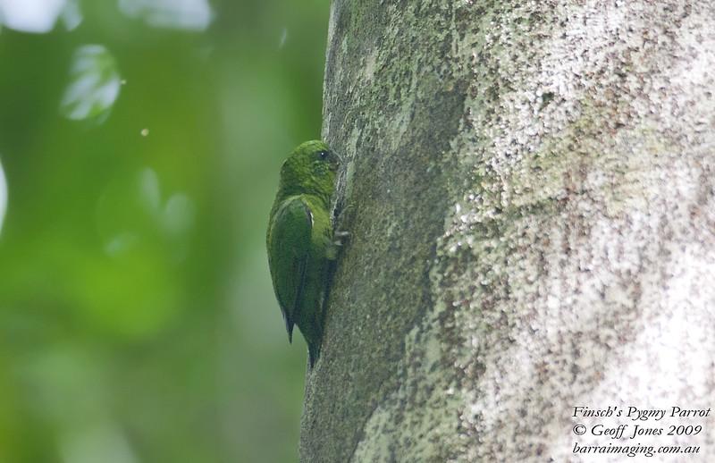 Finsch's Pygmy Parrot