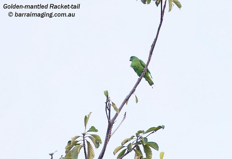 Golden-mantled Racket-tail