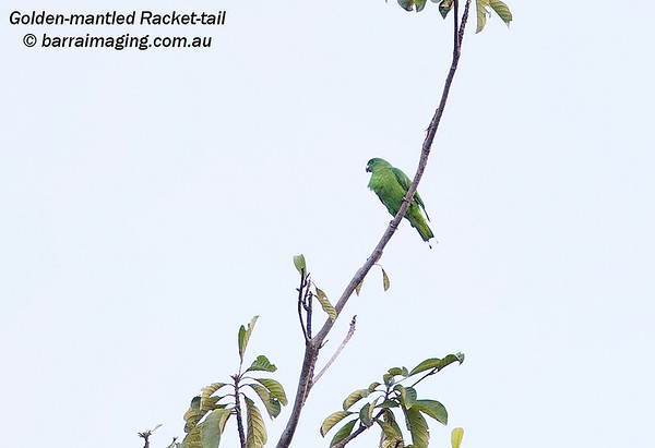 Golden-mantled Racket-tail