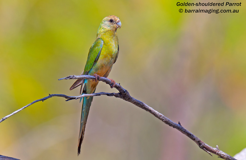 Golden-shouldered Parrot female