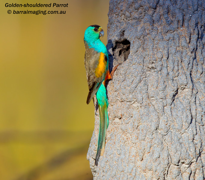 Golden-shouldered Parrot male