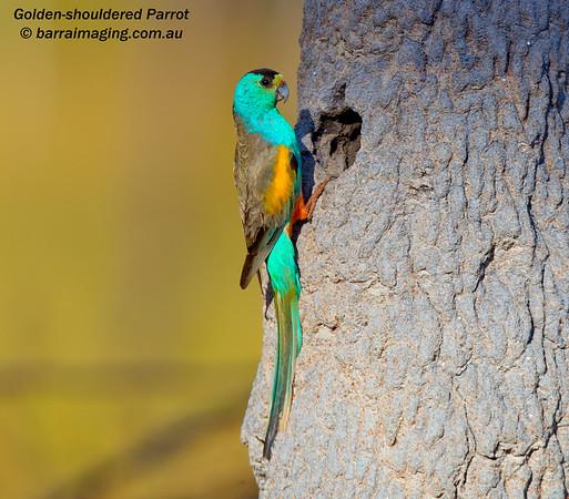 Golden-shouldered Parrot male