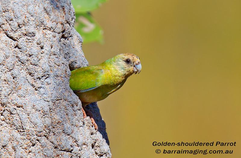 Golden-shouldered Parrot female