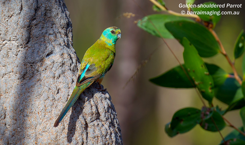 Golden-shouldered Parrot immature male