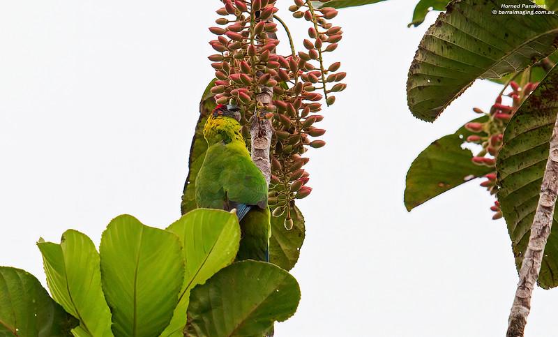 Horned Parakeet