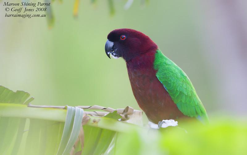 Maroon Shining Parrot