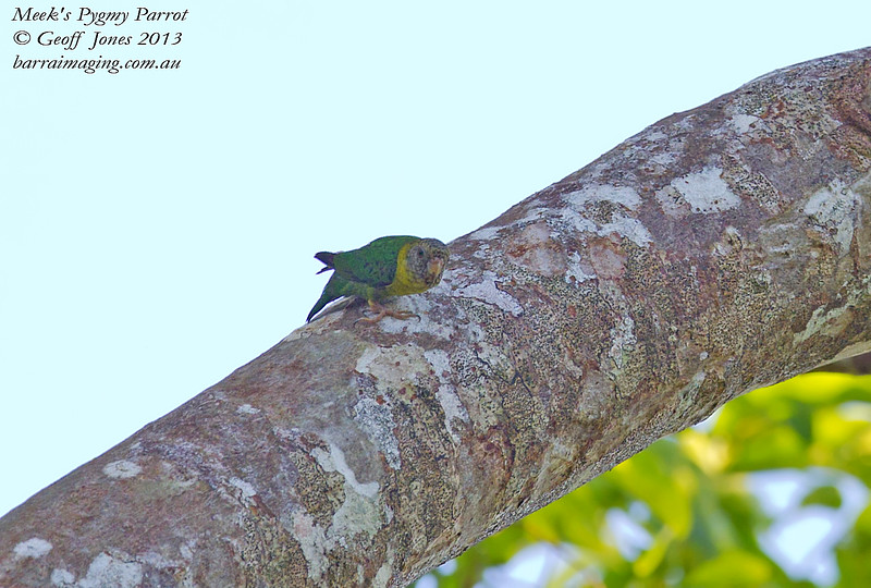 Meek's Pygmy Parrot