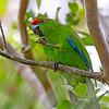 Norfolk Parakeet