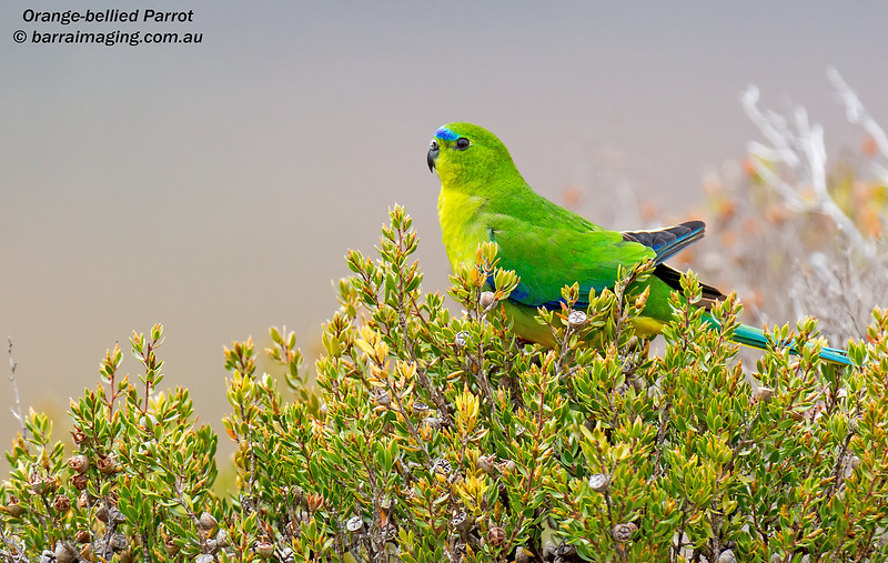 Orange-bellied Parrot