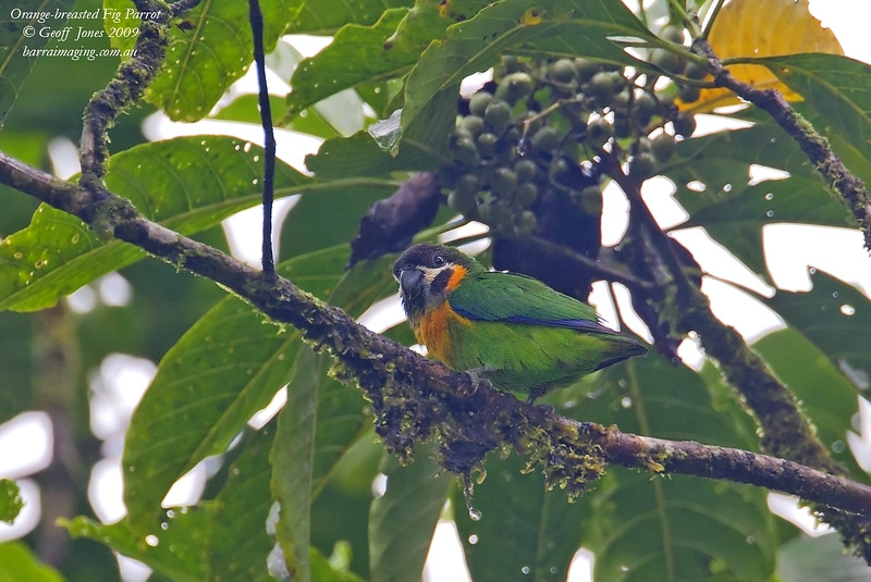 Orange-breasted Fig Parrot female
