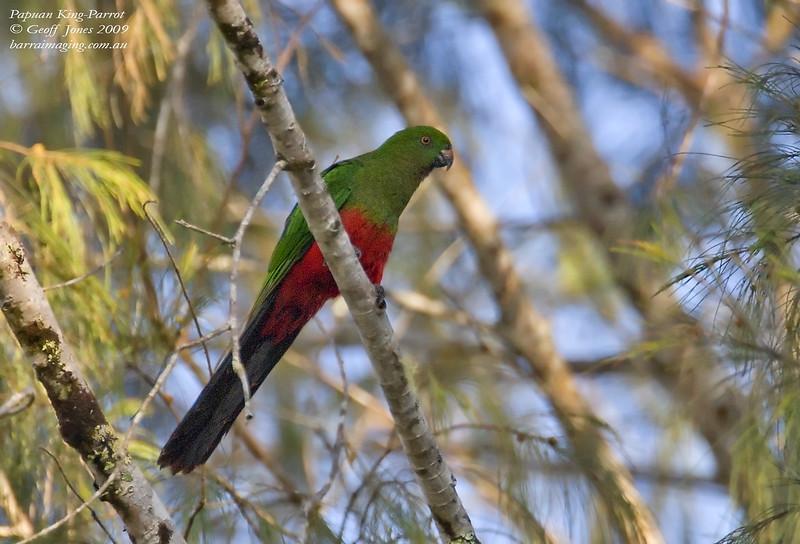 Papuan King-Parrot female