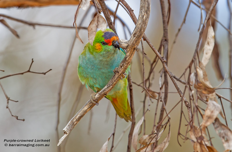Purple-crowned Lorikeet