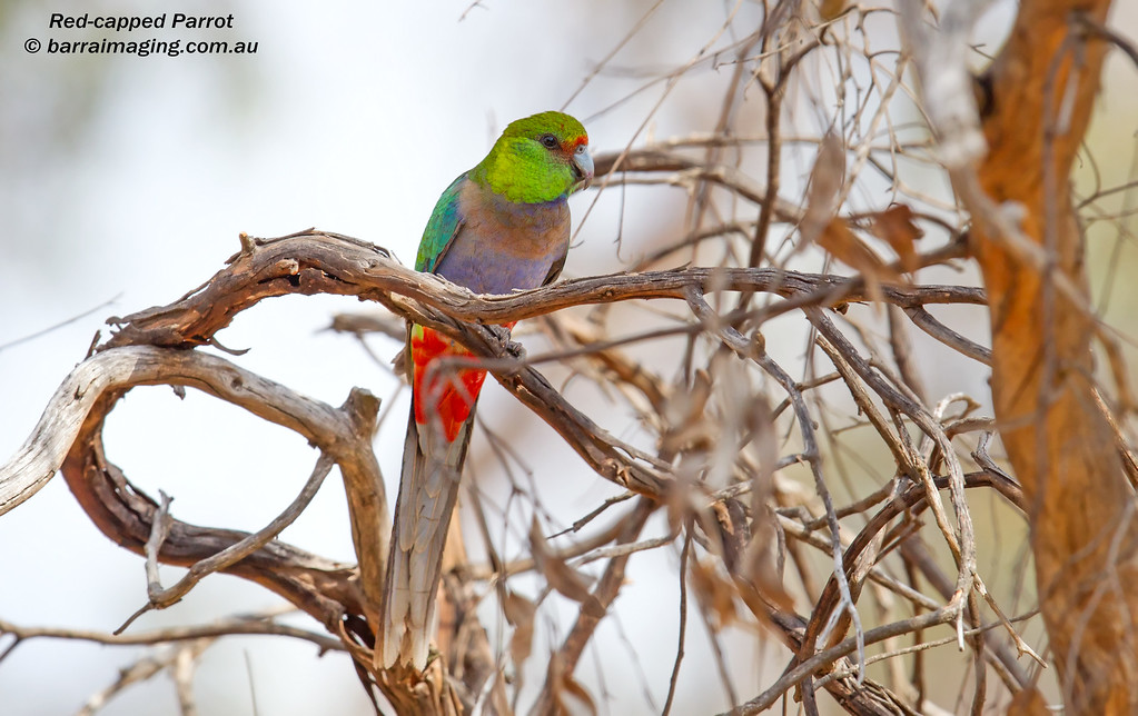 Red-capped Parrot immature male