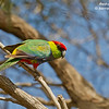 Red-capped Parrot male