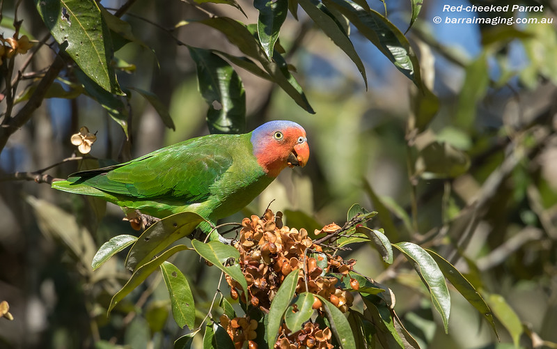 Red-cheeked Parrot male
