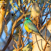 Red-rumped Parrot 20