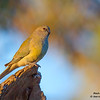 Red-rumped Parrot 26