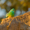 Red-rumped Parrot 19