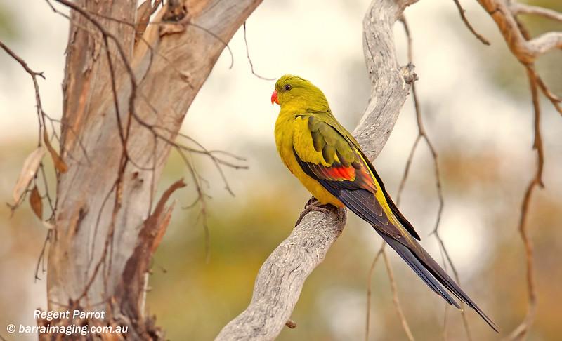 Regent Parrot male