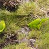Reischek's Parakeet Cyanoramphus hochstetteri Antipodes NZ Nov 2010 NZ-REPA-01