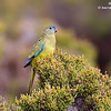 Rock Parrot 2