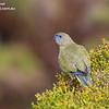 Rock Parrot 1