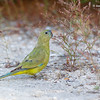 Rock Parrot 5