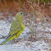 Rock Parrot 6
