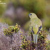 Rock Parrot 3