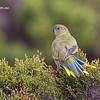 Rock Parrot 4