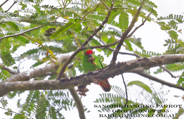 Sangihe Hanging Parrot male