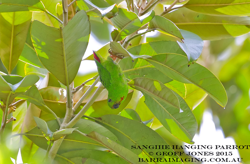 Sangihe Hanging Parrot female