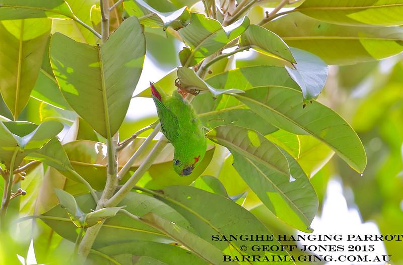 Sangihe Hanging Parrot female